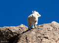 King of the Mountain Goat
