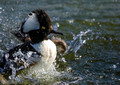 Splashy Merganser